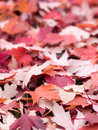 Red leaf background in autumn Stock Images