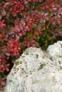 Red leaf bush detail with white ornamental rock Stock Photos