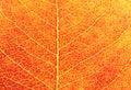 Red Leaf Closeup Stock Photos