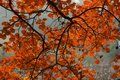 Red leaf in fall Royalty Free Stock Photo