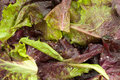 Red Leaf Lettuce with Dew Royalty Free Stock Photography