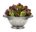 Red leaf lettuce in a stainless steel colander fresh this healthy vegetable is rich nutrition the image is cut out isolated Stock Photos