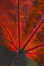 Red leaf macro Royalty Free Stock Image