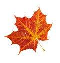 Red leaf of a maple Stock Photography