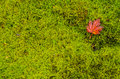 Red leaf resting on moss bright of bright lush green Royalty Free Stock Photos
