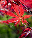 Red leaf  in spring Royalty Free Stock Photos