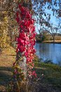 Red Leaf Vines Growing Up Tree Trunk Royalty Free Stock Photo