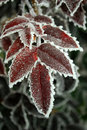 Red leafs covered in ice Stock Photography