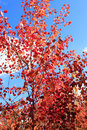 Red leaves of asp in the autumn Royalty Free Stock Photo