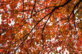 Red leaves of aspen autumn Royalty Free Stock Photo
