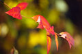 Red leaves in autumn of tree Stock Photos