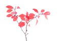 Red leaves on branch isolated white background a Royalty Free Stock Images