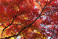 Red leaves and branches of maple tree at autumn foliage season in japan Royalty Free Stock Photo