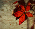 Red leaves colorful that have turned a vibrant photographed against a white brick wall Royalty Free Stock Photo