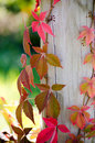 Red leaves and fence post green fall climb a rustic wood Stock Photography