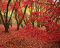 Red leaves in forest Royalty Free Stock Image