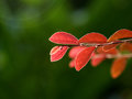 Red leaves and green background form contrast Stock Images
