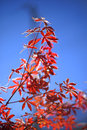 Red leaves of japanese maple tree branch against a blue sky Royalty Free Stock Images