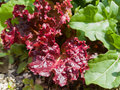 Red leaves of lettuce growing on a bed in garden Royalty Free Stock Photo