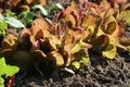 Red leaves of lettuce growing on a bed in a kitchen garden Royalty Free Stock Photo