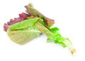 Red leaves of lettuce salad Stock Images