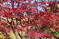 Red leaves of maple tree Royalty Free Stock Photo