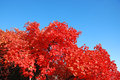 Red leaves in the sky in autumn Stock Photos
