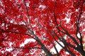 Red leaves stems Royalty Free Stock Photo