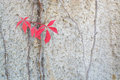 Red leaves virginia creepers autumn or woodbines parthenocissus quinquefolia climbing on a cement wall in stockholm in october Royalty Free Stock Photo