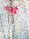 Red leaves virginia creepers autumn or woodbines parthenocissus quinquefolia climbing on a cement wall in stockholm in october Stock Photo