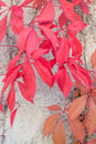 Red leaves virginia creepers autumn or woodbines parthenocissus quinquefolia climbing on a cement wall in stockholm in october Royalty Free Stock Photography