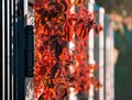 Red Leaves Of Wild Grapes On The Fence. Colorful Autumn, Bright Wild Grape Background. Abstract Purple, Red And Orange Fall Leaves