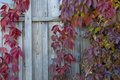 Red leaves of wild grapes twine on the wall of old barn in autumn Stock Image