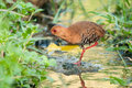 Red legged crake a not so common taken from lorong halus wetland of singapore Royalty Free Stock Photo