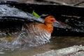 Red legged crake rallina fasciata bird Stock Photos