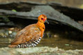 Red legged crake rallina fasciata has shower Royalty Free Stock Photo