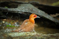 Red legged crake rallina fasciata is showering Stock Photo