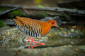 Red legged crake rallina fasciata walking in the forest of thailand Royalty Free Stock Image