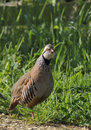 Red-legged or French Partridge Stock Image