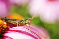 Red-legged grasshopper on pink flower Stock Photos