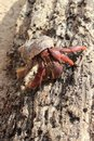 Red Legged Hermit Crab in Mexico beach sand Royalty Free Stock Photo
