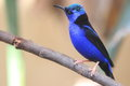 Red legged honeycreeper the on the branch Royalty Free Stock Photography