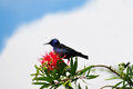 Red legged honeycreeper cyanerpes caeruleus feeding on some bottle brush flowers Stock Photography
