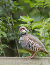 Red-legged Partridge Alectoris rufa Stock Photo