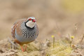 Red-legged partridge Royalty Free Stock Photo