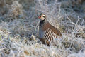 Red legged partridge alectoris rufa in frost Stock Photos