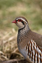 Red legged partridge alectoris rufa on grass Stock Photo