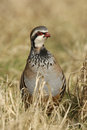 Red legged partridge alectoris rufa on grass Royalty Free Stock Images