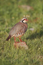Red legged partridge alectoris rufa single bird standing on a rock portugal march Stock Photos