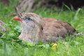 Red legged seriema the lying in the grass Royalty Free Stock Photos